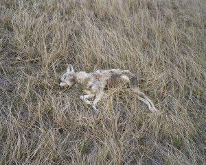 Coyote, Redshirt